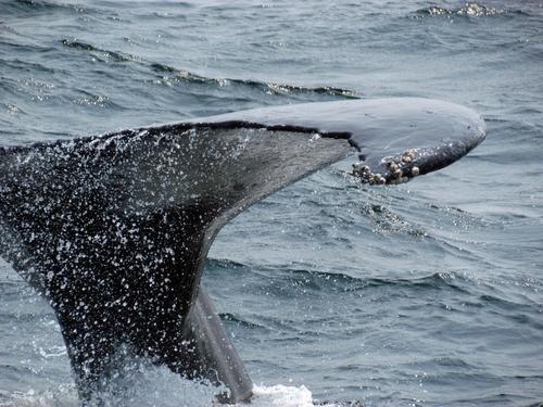 Baleine Massachussetts