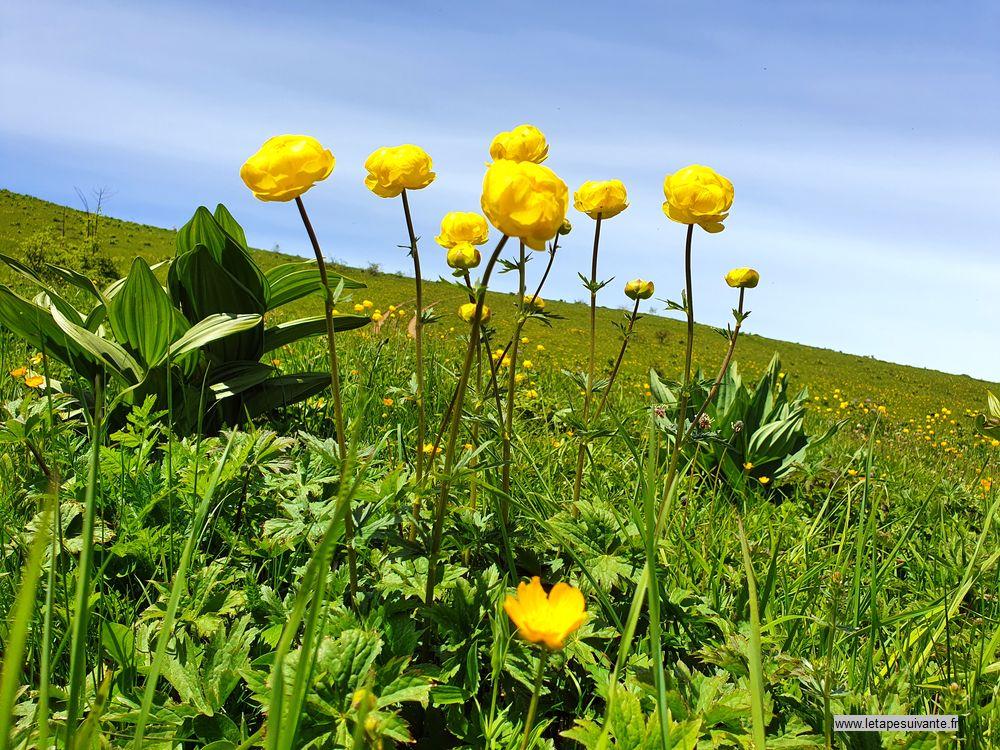 Les trolles, fleurs des alpages des Alpes